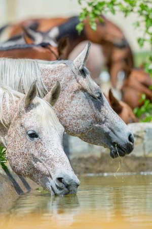 Trinkwasser der Pferde, Araber-Pferde Lizenzfreie Bilder - 23732121