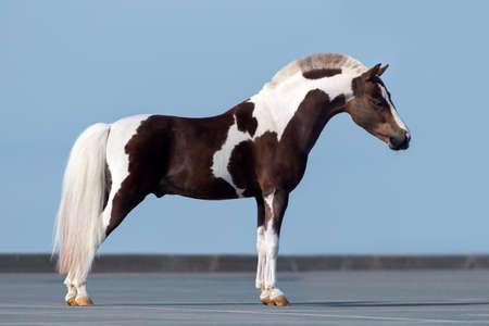 shetland pony: Side view of a Male Shetland pony on blue background