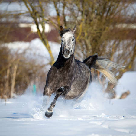 Arabisches Pferd galoppiert im Winter photo