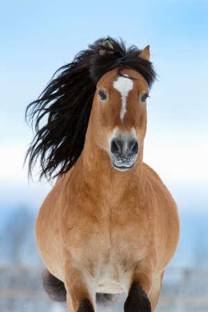 Horse gallops in winter, front view  Reklamní fotografie
