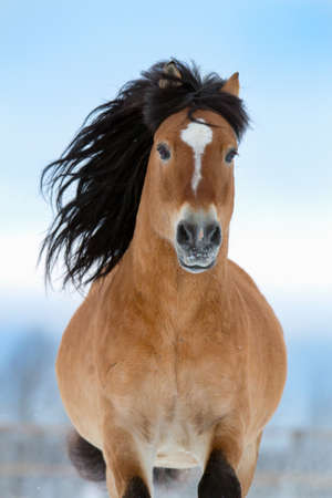 Horse gallops in winter, front view  photo