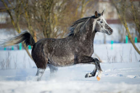 arabian horse: Arabian horse gallops in winter