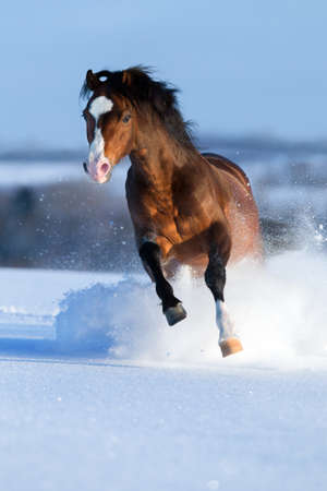 Horse gallops in winter  photo