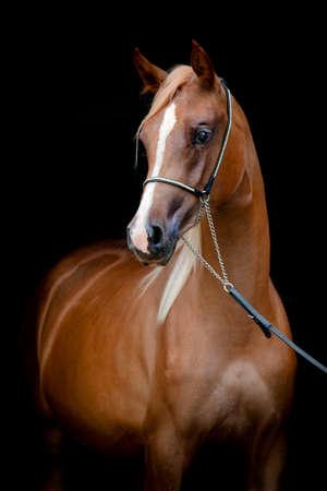 arabian horse: Chestnut horse isolated on black background Stock Photo