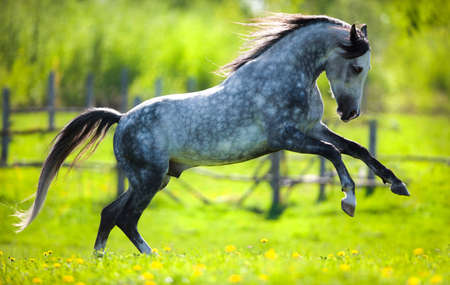 gray horse: Gray horse running in field in spring  Stock Photo