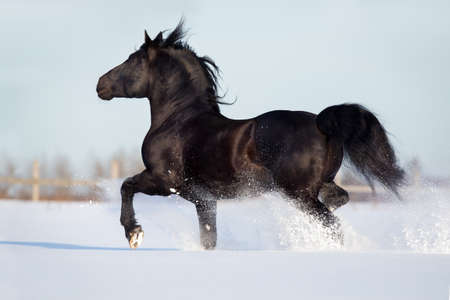 caballo negro: Run Caballo negro en galope invierno r�pido Foto de archivo