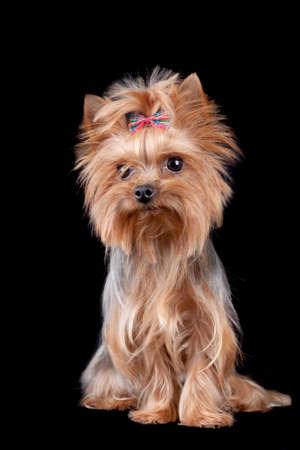 animal photo: Yorkshire Terrier dog isolated on black background