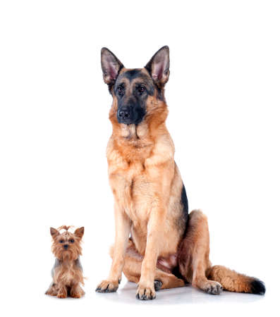 big dog: Shepherd dog and Yorkshire Terrier isolated on white background, studio shot  Stock Photo