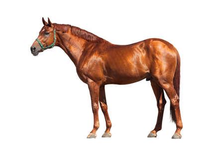 halter: Chestnut horse isolated on white background