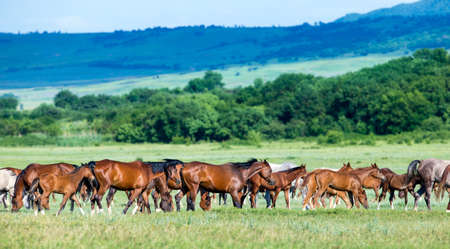 Herd of Arabian horses on the field returns home  photo