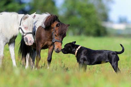 caballo negro: Ponis y perro en el campo