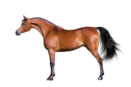 Arabian bay horse isolated on white background