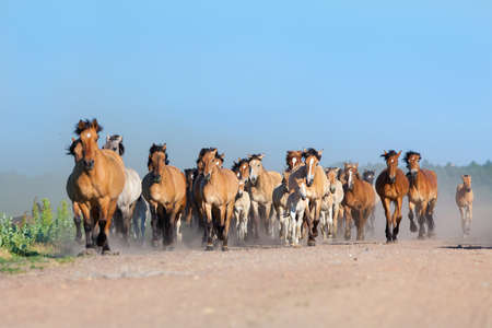 running horses: Herd of horses and foals runs on the road in summer