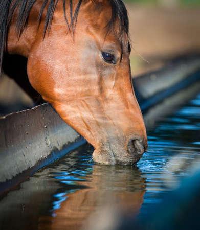 Horse drinks a water, horse head close up  版權商用圖片