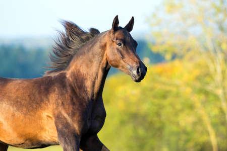 arabian horse: Arabian horse portrait in motion