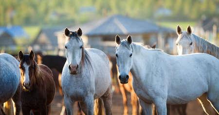 Group of Arabian horses looking at camera, herd of\ animals