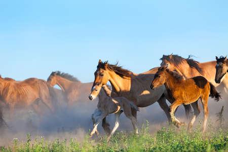 horseback riding: Herd of horses runs in pasture in summer