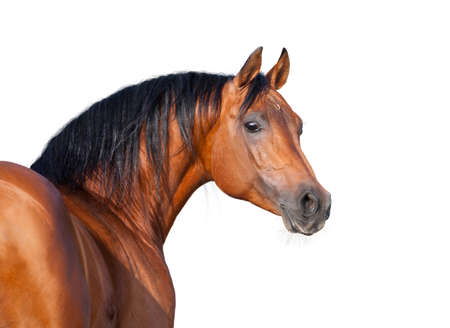 Chestnut horse head isolated on white background, Arabian horse  Stock Photo