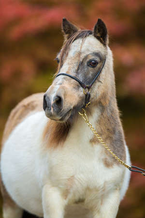 shetland pony: Foal, Shetland pony