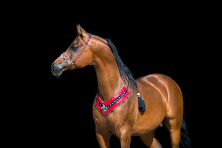 Arabie portrait baie de cheval sur fond noir Banque d'images - 30842268