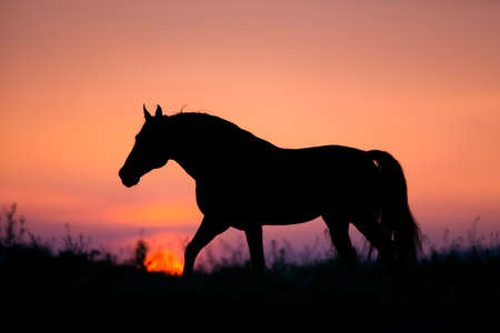 horses in field: Horse silhouette on sunrise background