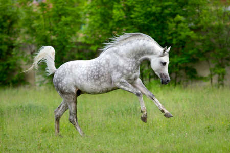 Arabian horse runs gallop on green background