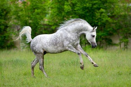 Cavallo arabo corre al galoppo su sfondo verde Archivio Fotografico - 31354816