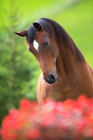 trakehner: Bay horse head on green background, Trakehner stallion.