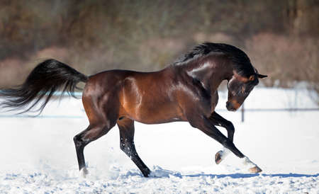 horses: Horse running in the snow