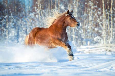 draft horse: Draft horse gallops on winter background Stock Photo