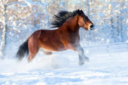 Big draft horse runs in winter photo