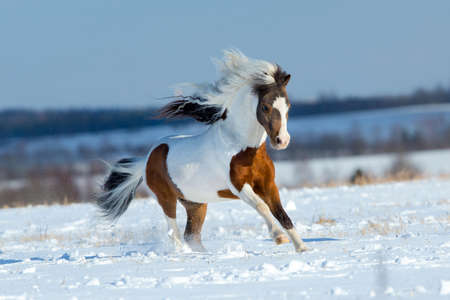 Small horse running in the snow in field Banque d'images