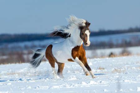 Small horse running in the snow in field 版權商用圖片