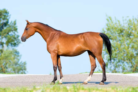 conformation: Bay horse standing on blue sky, conformation. Stock Photo