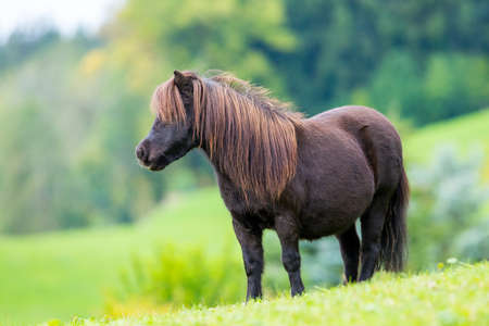 Shetland pony standing on green hill and looking forward. Stock Photo