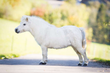 conformation: Cute white Shetland pony standing on the road, conformation.