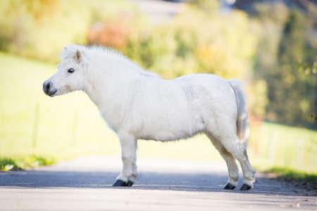 conformation: Lindo blanco Shetland pony de pie en el camino, la conformaci�n.
