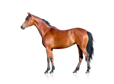 Bay horse isolated on white background 写真素材