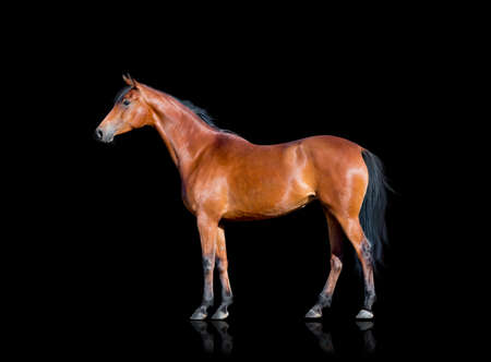 animal only: Bay horse standing on black background, isolated.