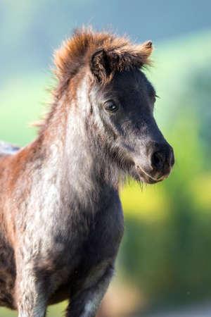 head close up: Pony head close up on summer background, Shetland pony. Stock Photo