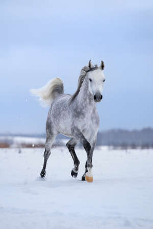 Arabian gray horse runs on snow field.