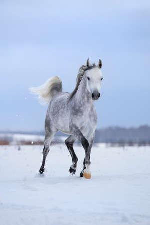 Arabian gray horse runs on snow field.