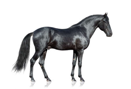 horses: Black horse standing on white background, isolated. Stock Photo