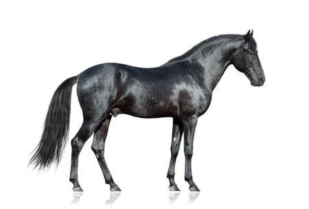 persona de pie: Caballo negro que se coloca en el fondo blanco, aislado.