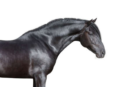 caballo negro: Retrato del caballo negro sobre fondo blanco, aislado.