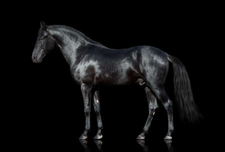 caballo negro: Caballo negro aislado en el fondo negro Foto de archivo