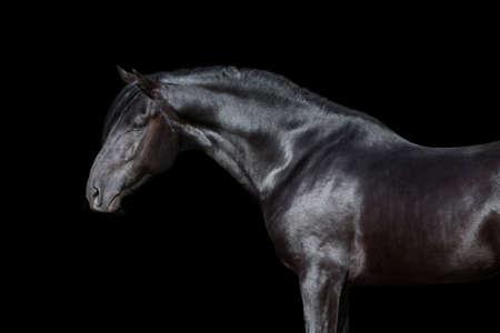 animal only: Black horse portrait isolated on black background