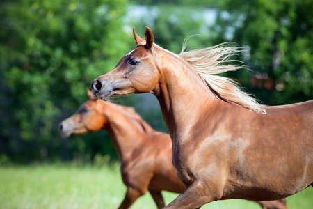 Two Arabian horses running on green background Stock Photo