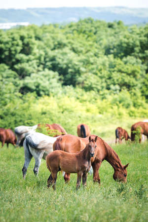 Herd of Arabian horses in field in summer
