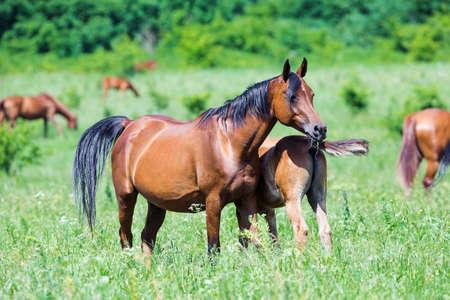 mare: Arabian mare with foal in field in summer